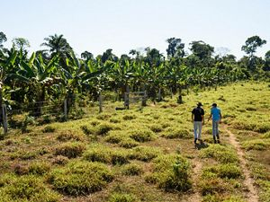 two people walk through a field toward a patch of trees on a small farm in Brazil.