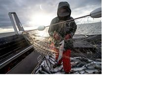 Commercial fisherman with sockeye salmon in boat