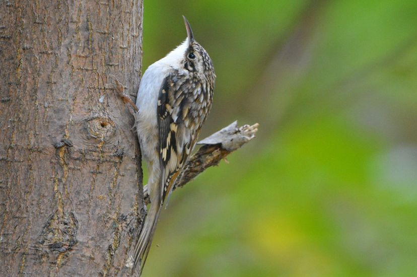 Small bird with mottled brown, tan and black feathers on it's back, white underbelly and long curved beak, looks up a tree..