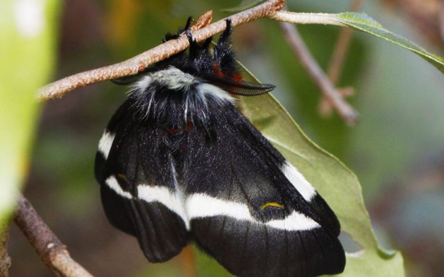 A large, black, fuzzy moth with a white strip across its wings hangs from the stem of a leaf.