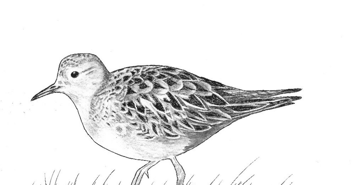 Charcoal drawing of a buff-breasted sandpiper