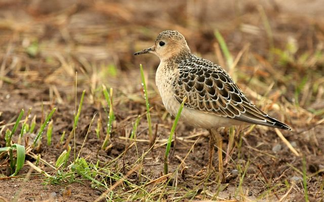 More than 30% of the entire species population was documented in the Flint Hills of Kansas and Oklahoma during spring migration.