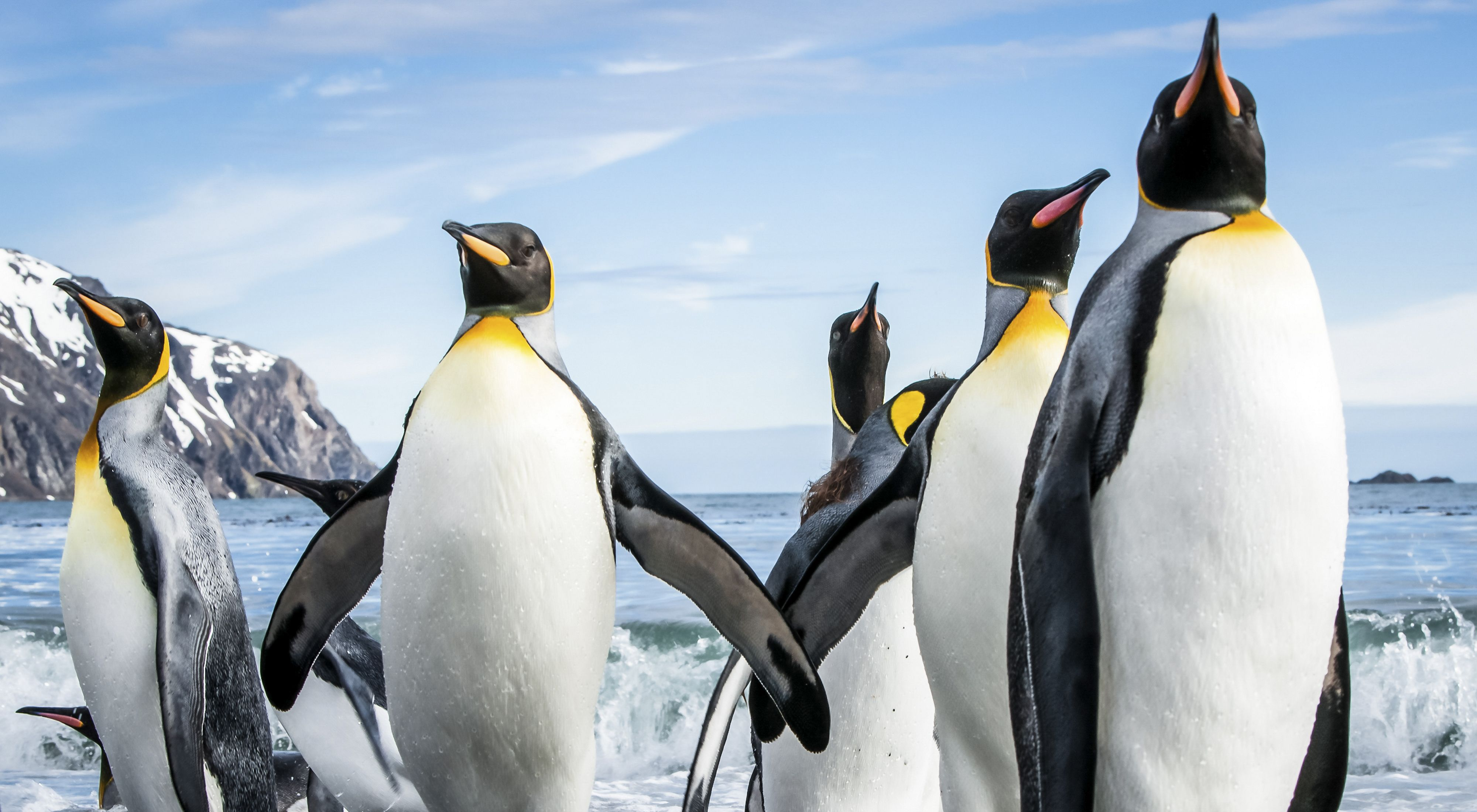 A group of king penguins emerge from the ocean