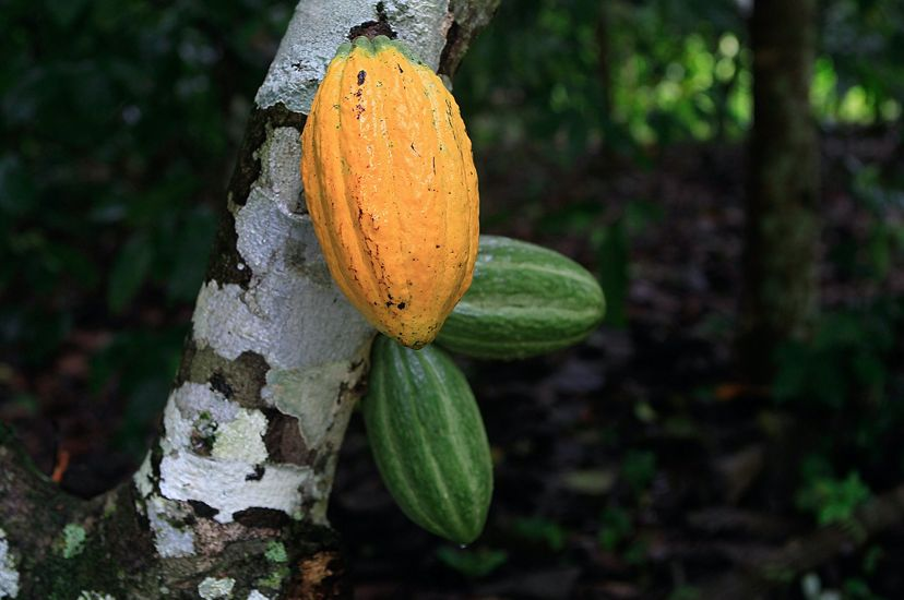 Harvesting cacao pods to produce chocolate can help support reforestation in the Amazon rainforest and provide stable income for small-scale farmers.