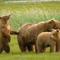 A female grizzly bear and her two cubs are on alert after sensing the presence of a male grizzly bear in Hallo Bay, Alaska.