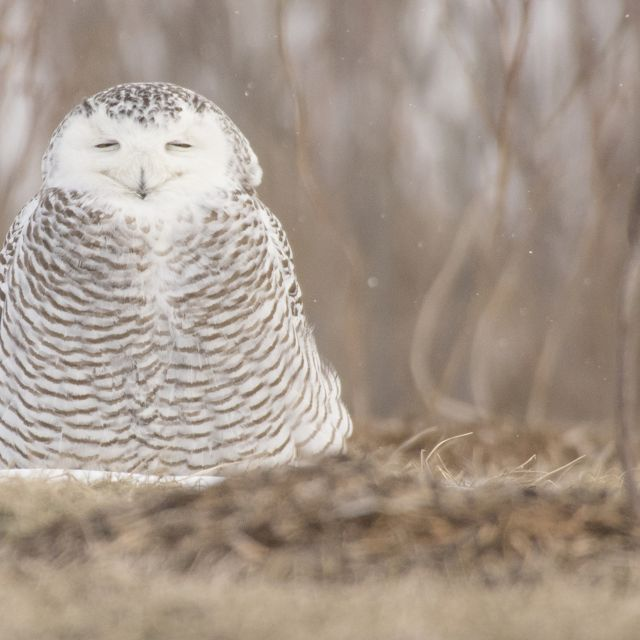 A Snowy Owl in an urban wildlife reserve in downtown Toronto.