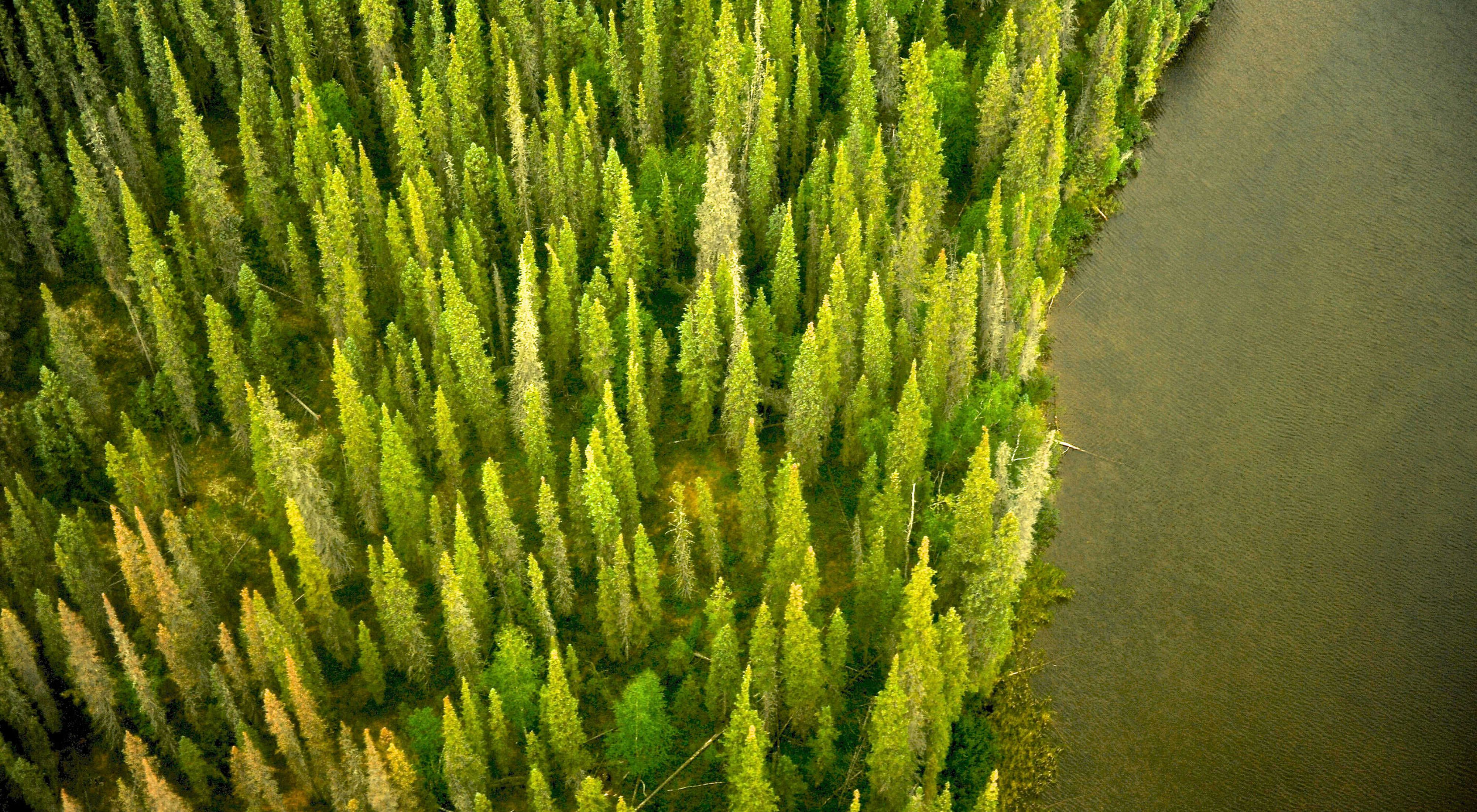 above view of bright green pines