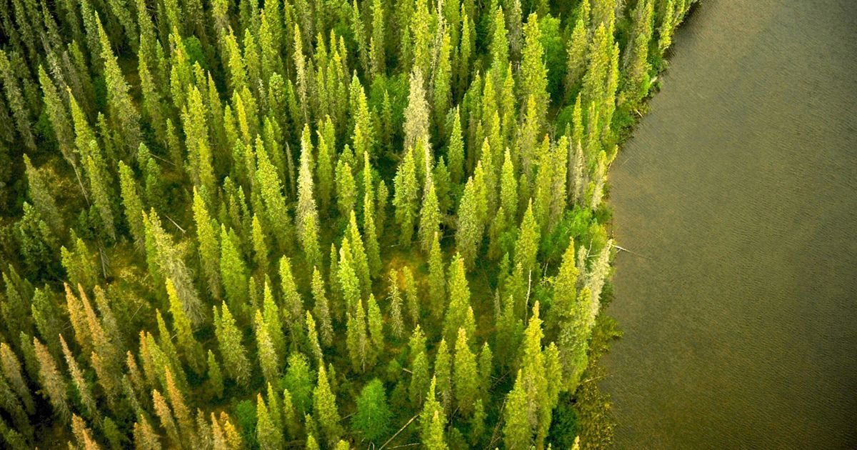 aerial view of a pine forest