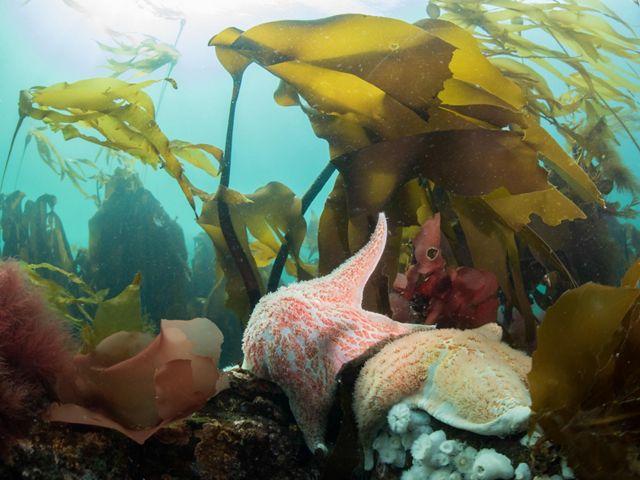 Sea stars and kelp in the ocean off Hurst Island, BC.