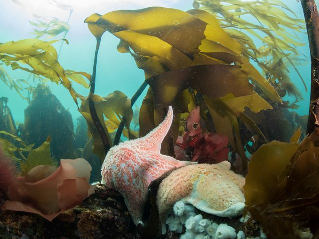 kelp and sea stars under water off the coast of Hurst Island in BC, Canada.