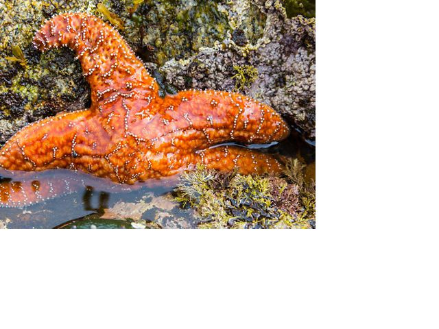 sea star in a tidal pool in the great bear rainforest