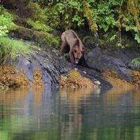 A young male Grizzly dines on grass and berries on the shore of Khutze Inlet, Great Bear Rainforest.