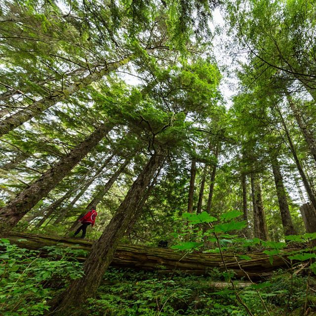 Laverne Barton walks along one of the fallen logs in Dis'ju, Great Bear Rainforest, BC, Canada.