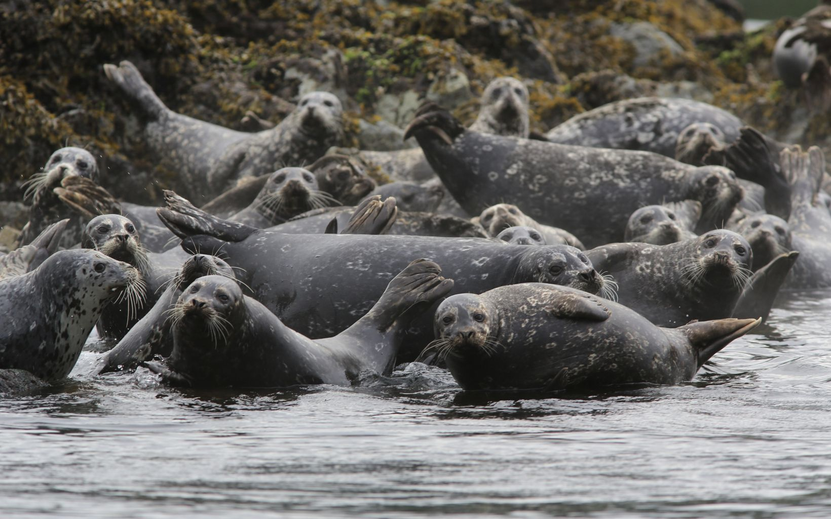 A group of seals in Clayoquot Sound.