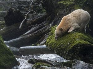 "A Kermode bear or ""spirit bear"" (Ursus americanus kermodei) on Gribbell Island in the Great Bear Rainforest of Canada."