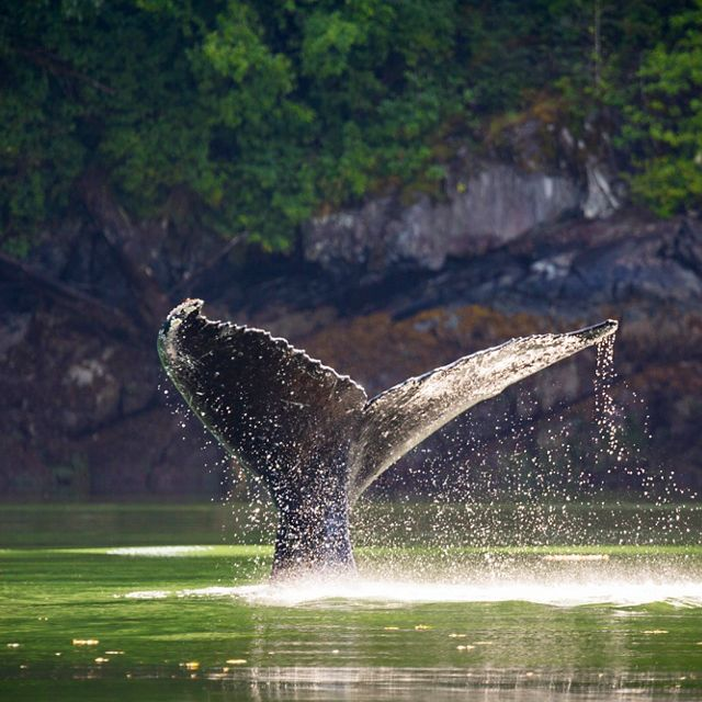 Humpback whale dives in the channel in front of the Spirit Bear Lodge. Klemtu, British Columbia.