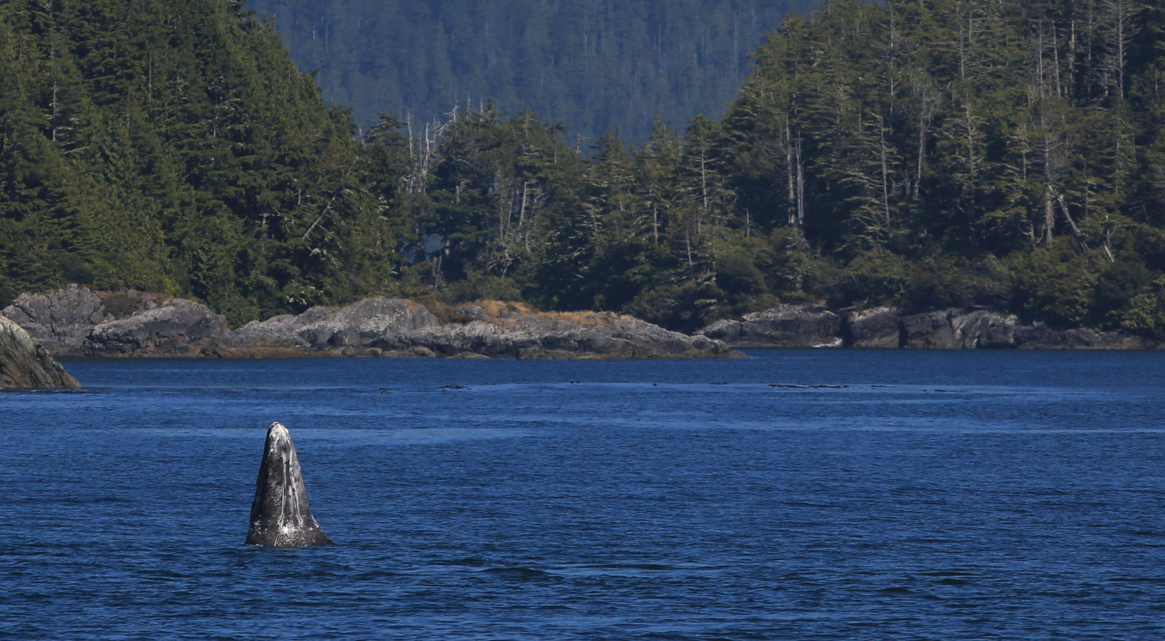 A whale breaches off the shores of Tofino in coastal British Columbia.
