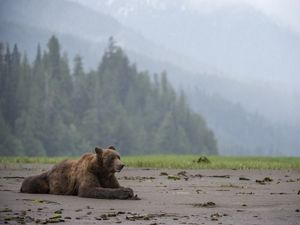 On the beaches of the Great Bear Rainforest, grizzly bears gorge on mussels.