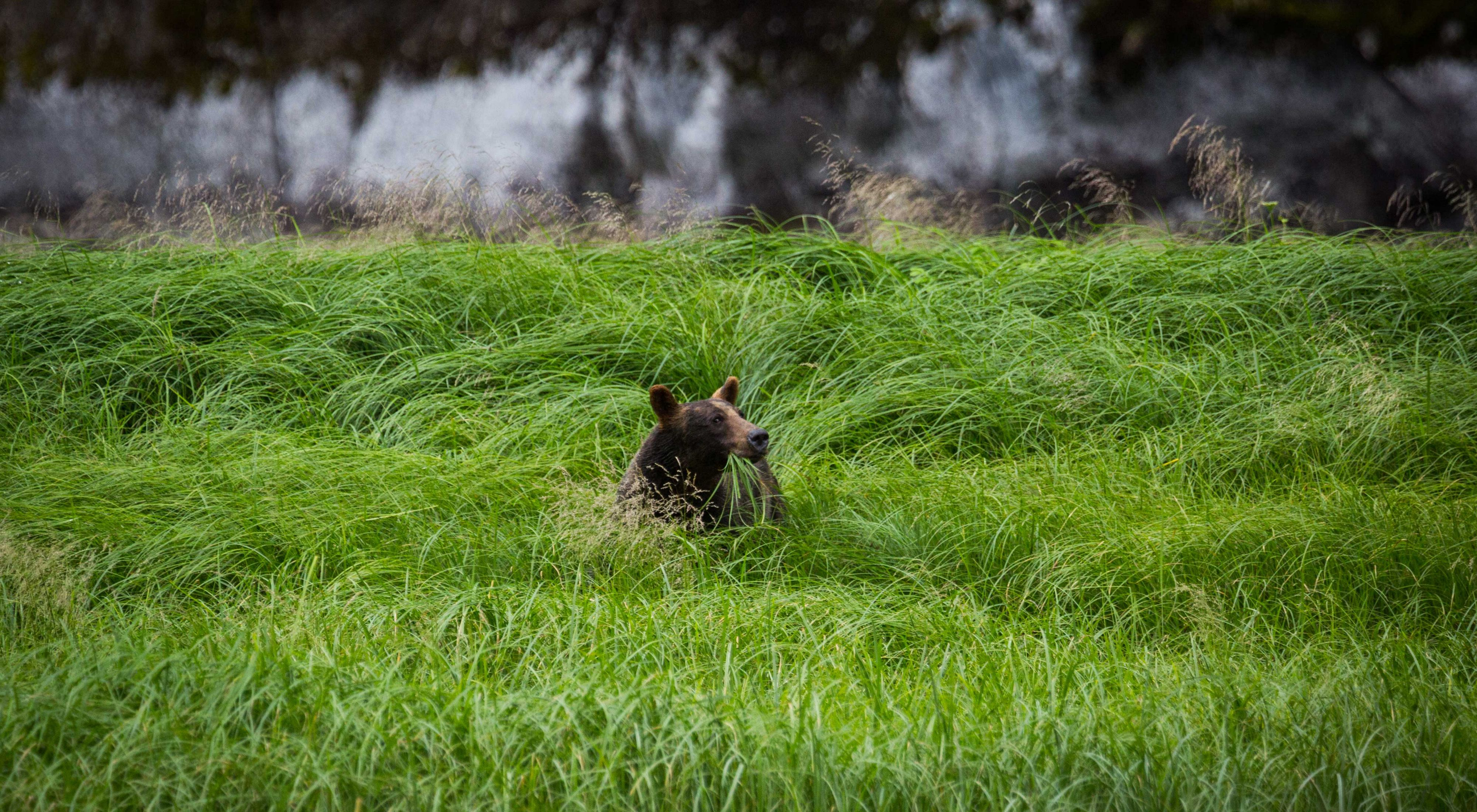A grizzly eating grass in a field in Mussel Inlet in Great Bear Rainforest, BC.