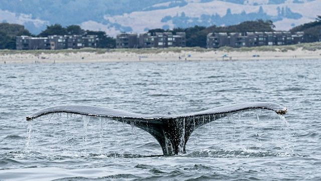 A whale tail emerges from the water off the coast of Monterey Bay, California.