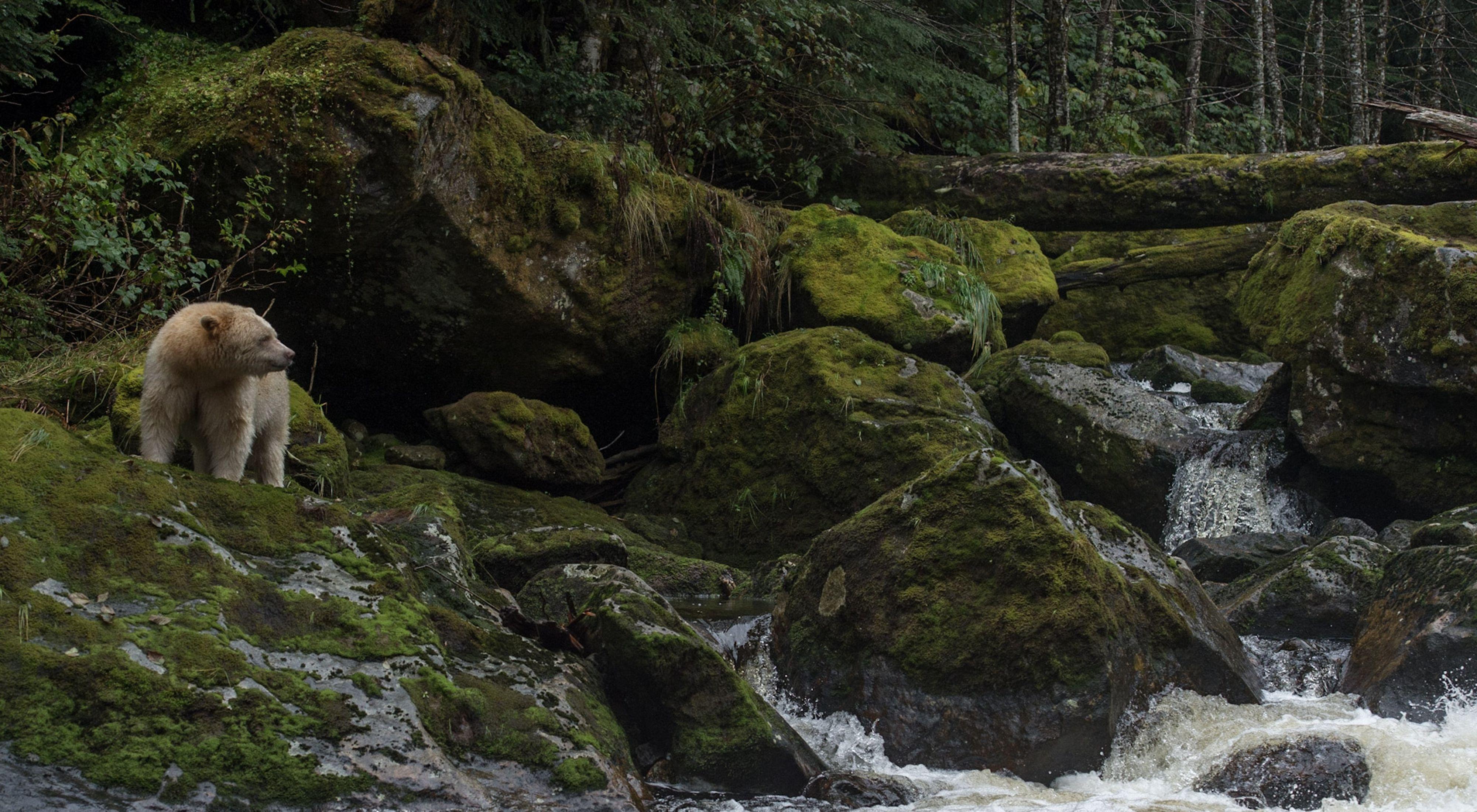 A rare kermode spirit bear climbs on moss-covered rocks in the Great Bear Rainforest.