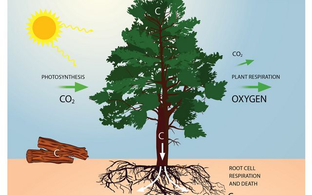 graphic demonstrating that trees capture carbon during photosynthesis and remove carbon dioxide from the atmosphere.