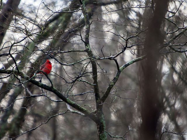 A male cardinal sits in a tree at Black Bayou Lake in Monroe, Louisiana