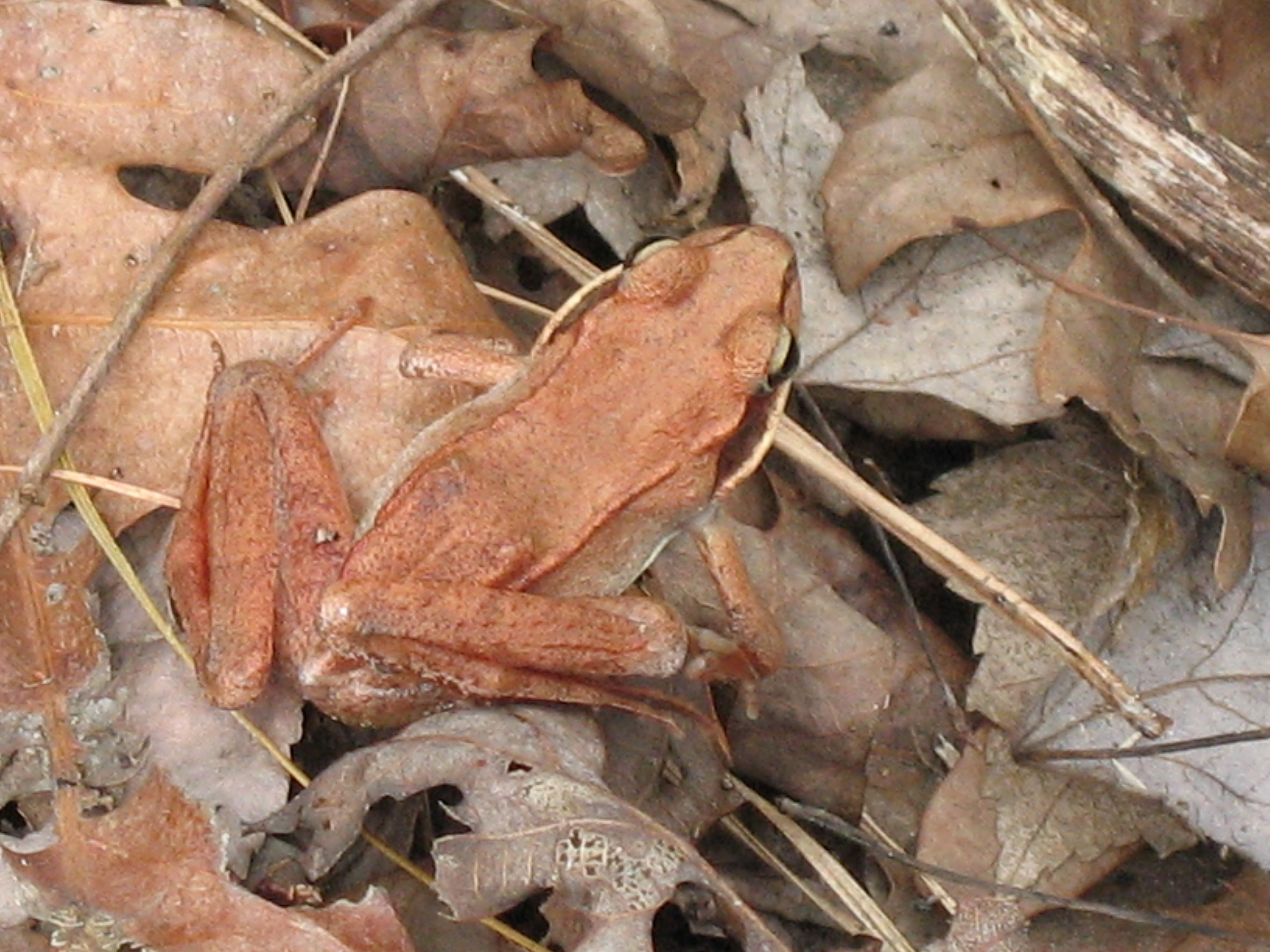 Looking down on a small orange-brown frog, well camouflaged against a layer of dried oak leaves.