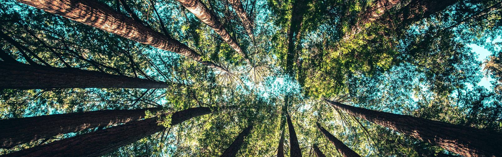 Photo looking up at a canopy of mixed hardwood trees.