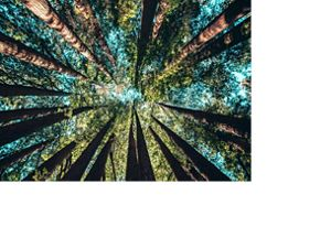Looking up at evergreen trees in California