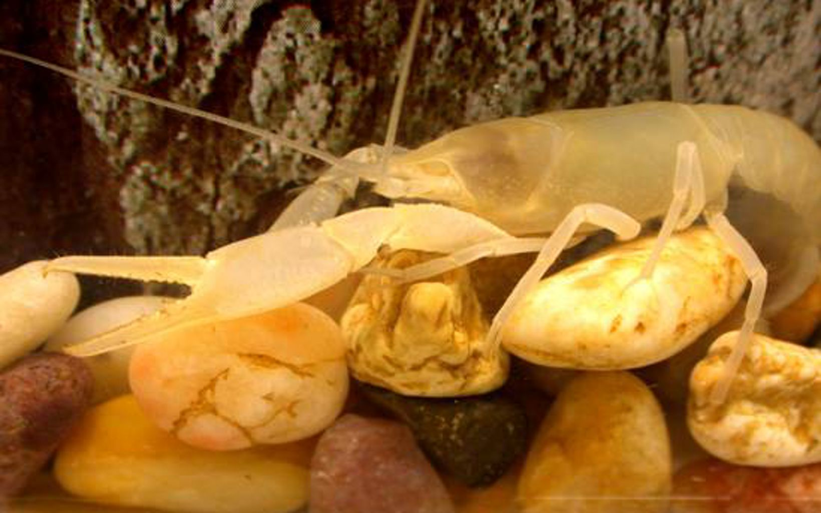 Almost camouflaged by the light-colored rocks, the cave crayfish makes its way around the cave.