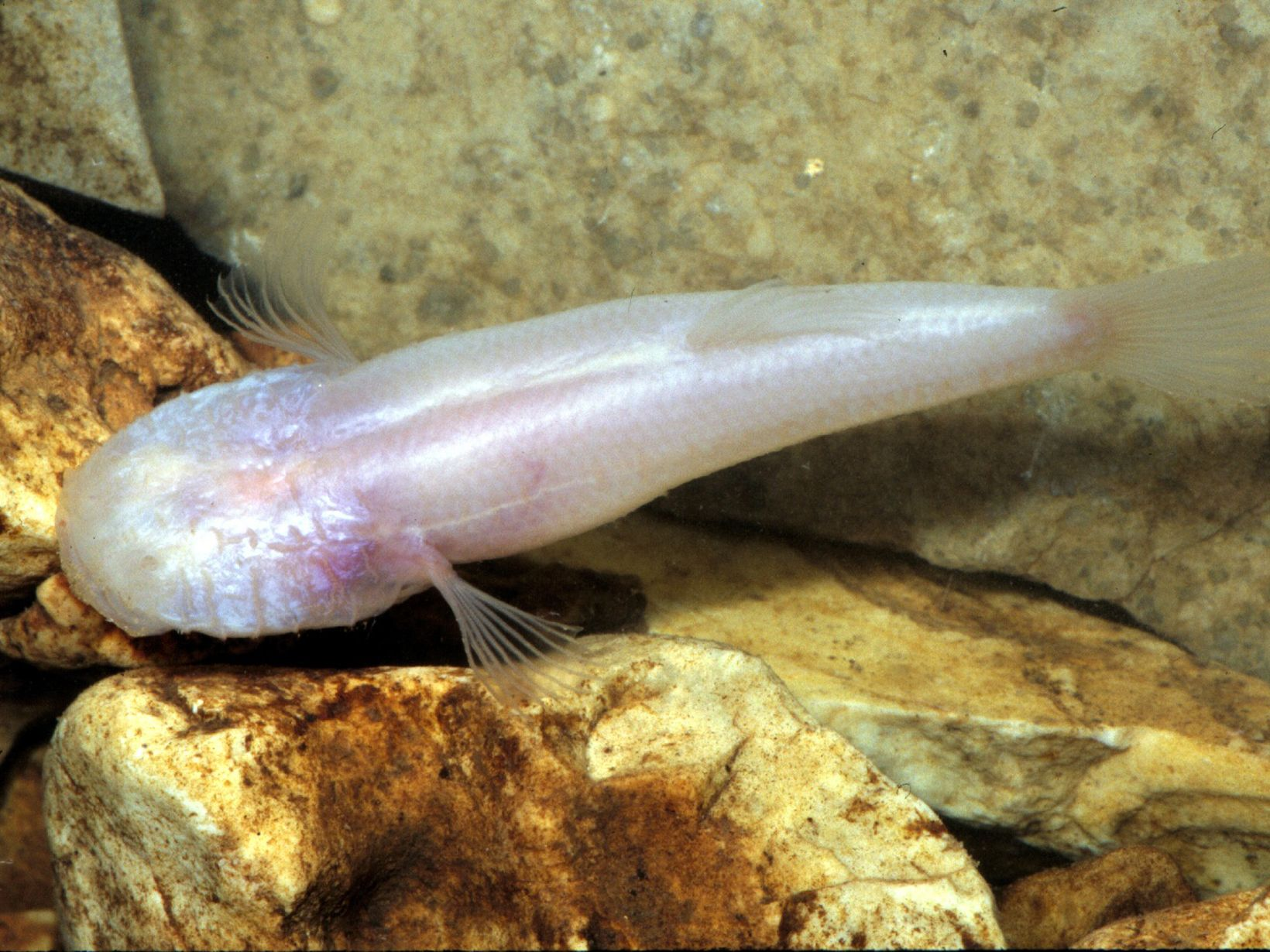 Cavefish swimming in clear water.