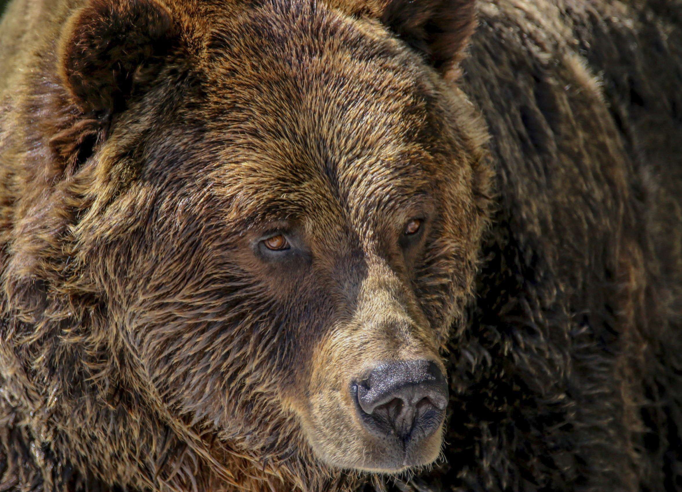 close up shot of a brown grizzly bear
