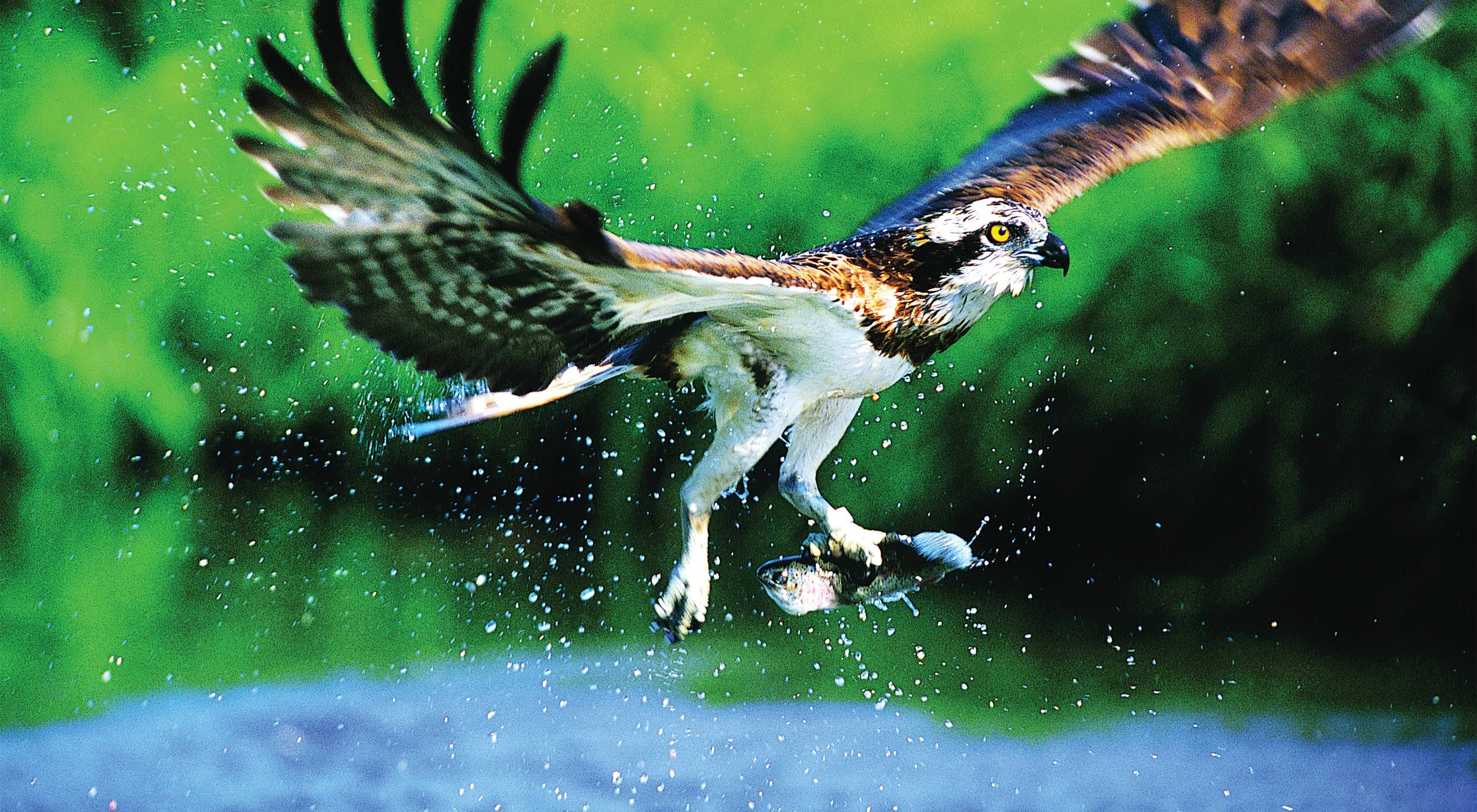 An osprey carrying a fish in its talons.