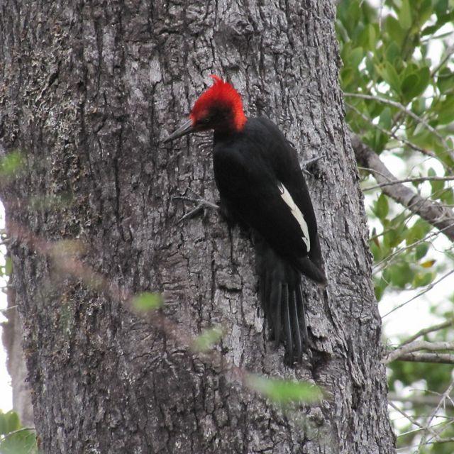 Una de las especies insignia de los bosques de Sudamérica habita los bosques de la Reserva Costera Valdiviana
