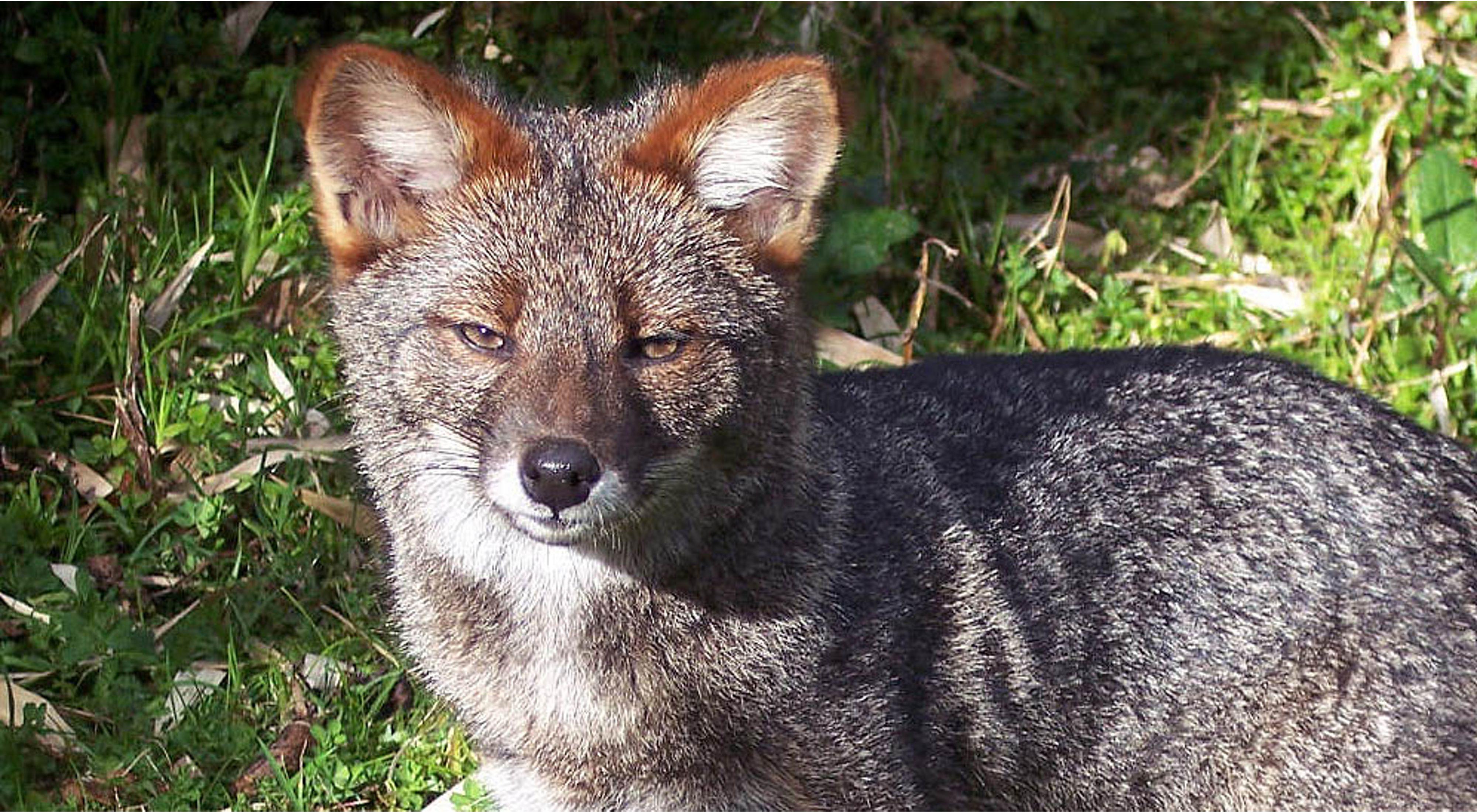 La Reserva Costera Valdiviana protege los últimos bosques hogar de una especie endémica de Chile que se creía extinta: el zorro de Darwin.