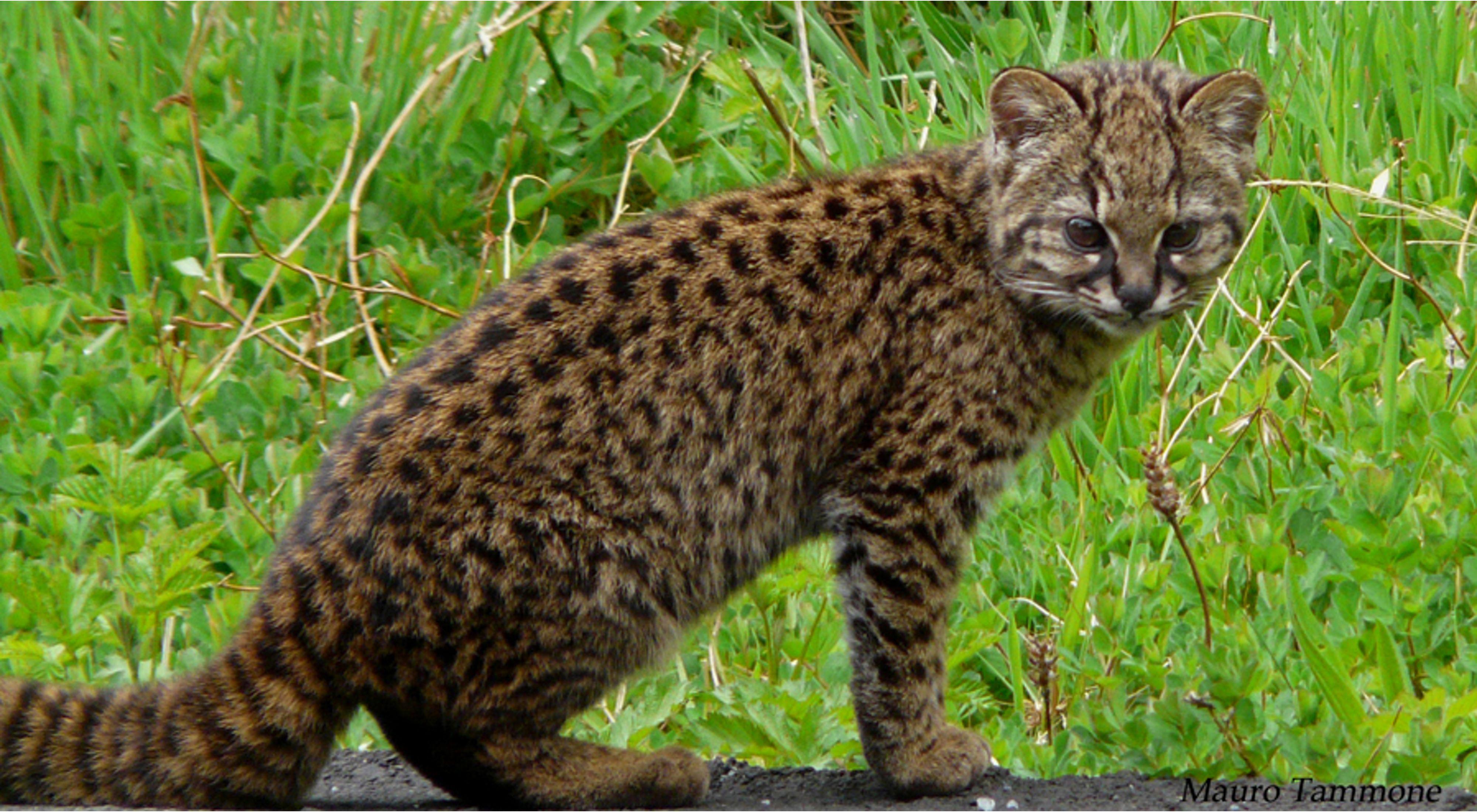 Leopardus guigna es una especie nativa del sur de Sudamérica y una especie amenazada por la destrucción de su hábitat.