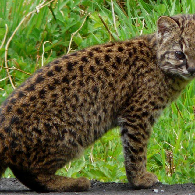 El felino silvestre más pequeño de América tiene su hogar en los bosques del sur de Chile y Argentina.