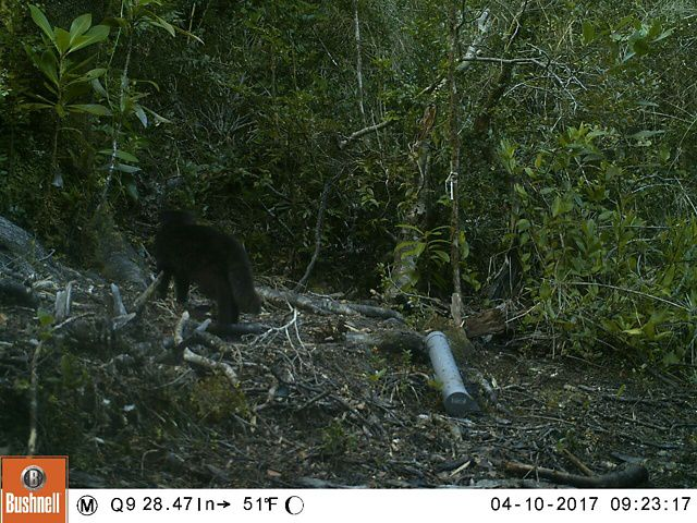 Este llamativo felino ha aparecido ante las trampas cámara de la RCV en su ejercicio de conocer mejor la biodiversidad que la habita.