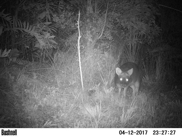 El pudú es uno de los ciervos más pequeños del mundo. No supera los 40 cm de altura, ni los 10 kg de peso. Posee un pelaje grueso y denso de color café rojizo oscuro.
