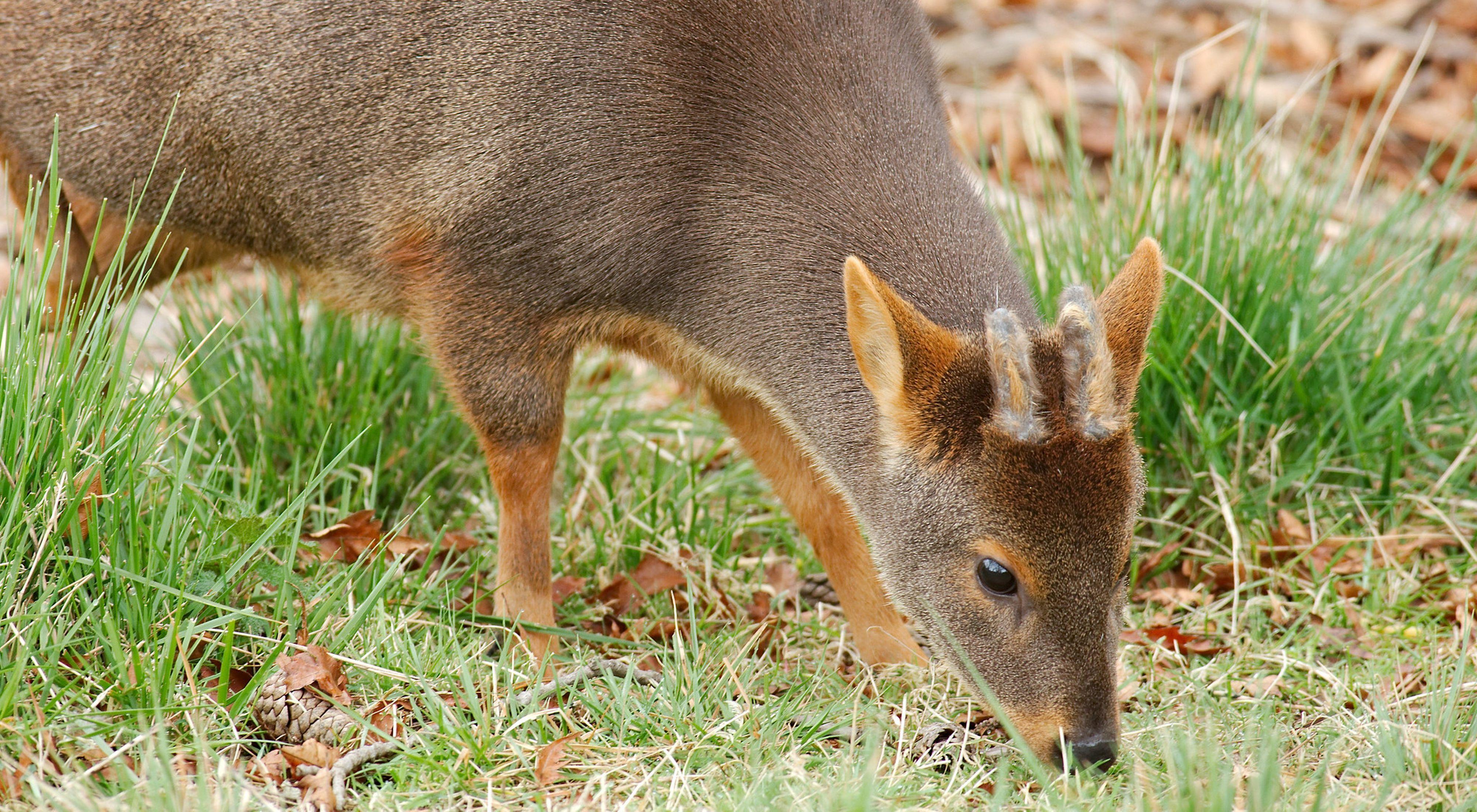 Pudu puda. Esta especie requiere de áreas de vegetación densa y baja para alimentarse, y es bastante tímido.