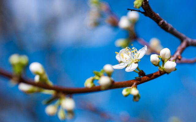 Closeup of white flower buds on a reddish brown branch against a bright blue sky.