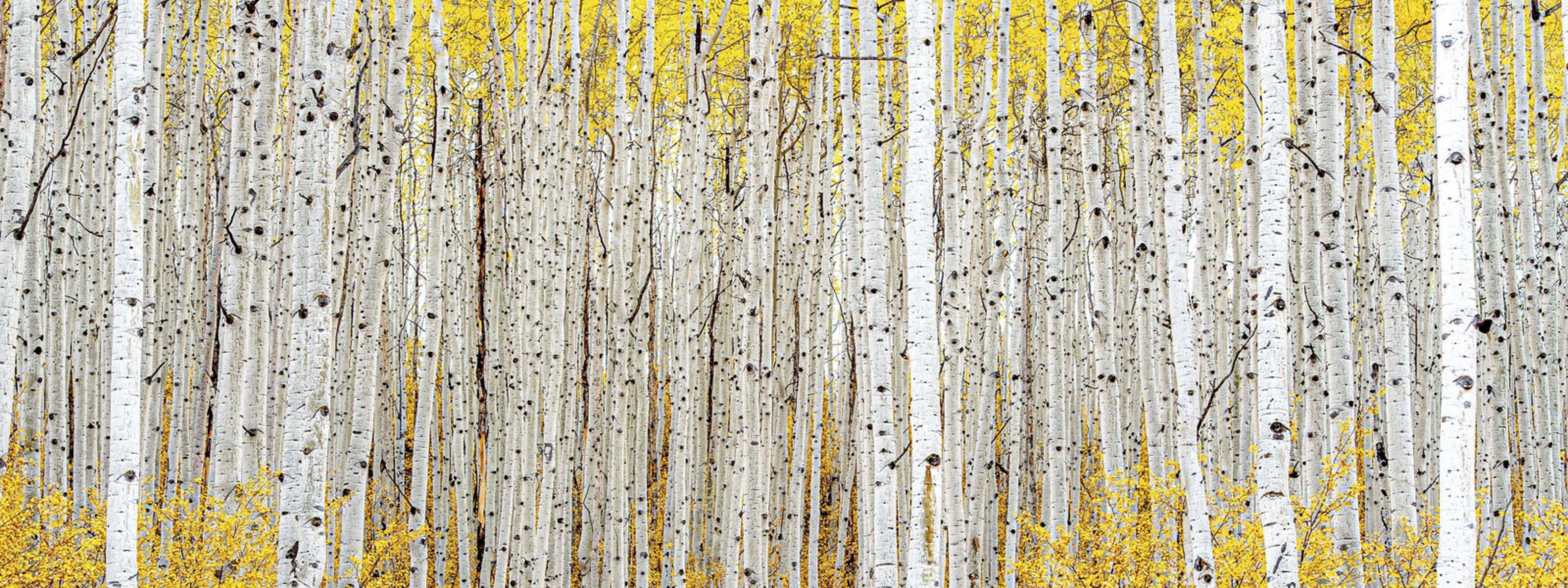 This grove of trees in Owl Creek just outside the town of Aspen, Colorado were putting on an amazing show in October.