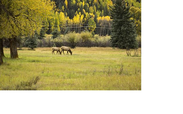 A green field surrounded by trees, with a male and female elk grazing in the mid-distance.