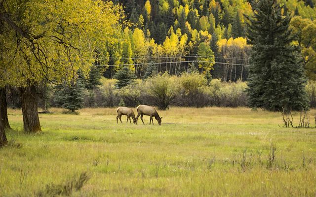 Elk grazing with autumn foliage in the background.