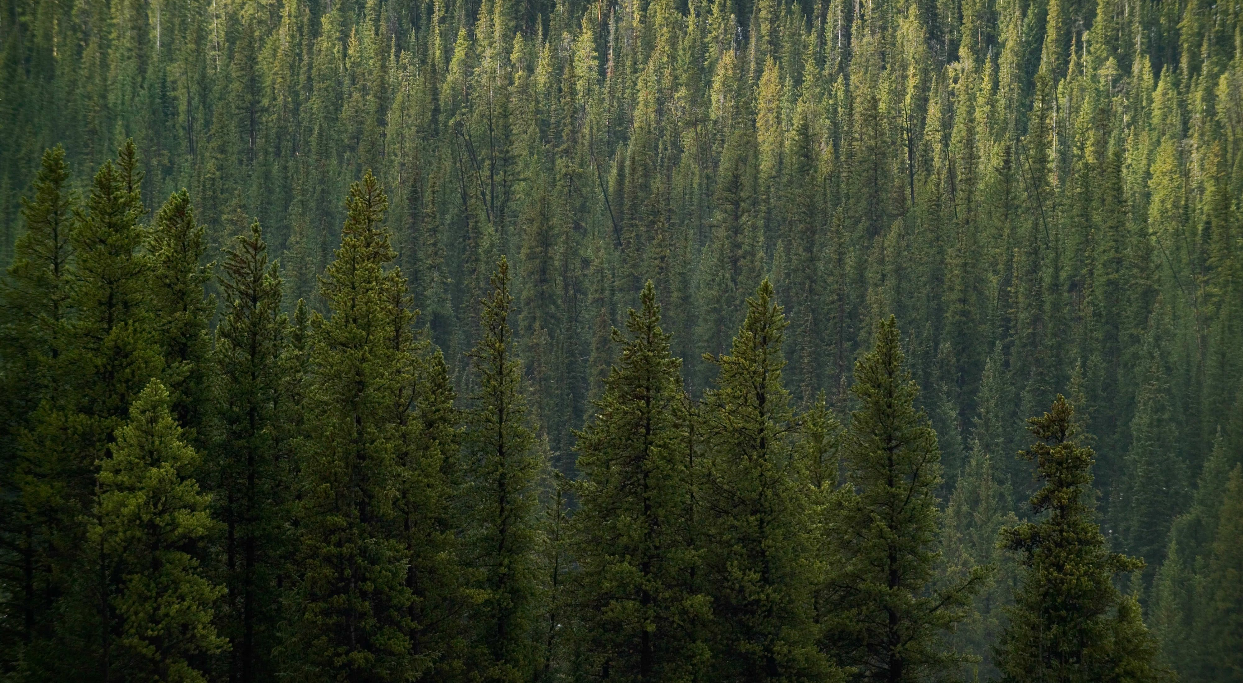 Photo of trees and no skyline in Colorado.