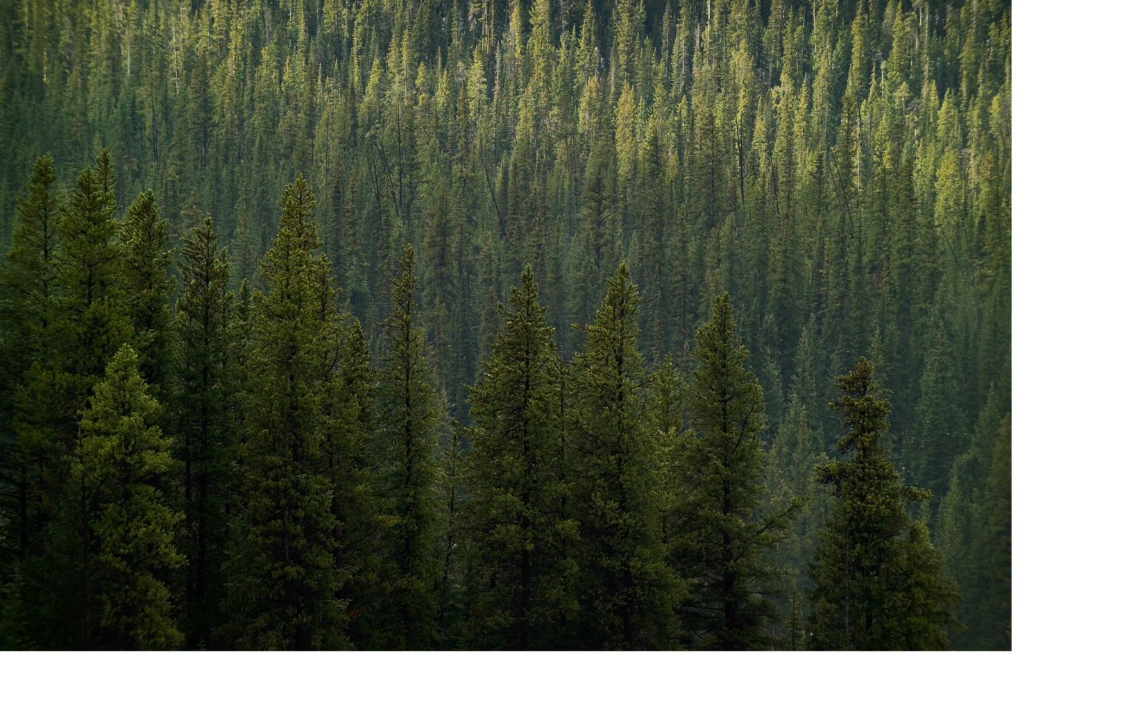 Lodgepole pine forest west of Cameron Pass on highway 14 in Colorado..