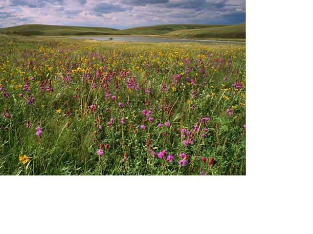 Meadow of blazing star (Liatris ligulistylis) and Maximilian sunflower (Helianthus maximiliani) at a prairie pothole