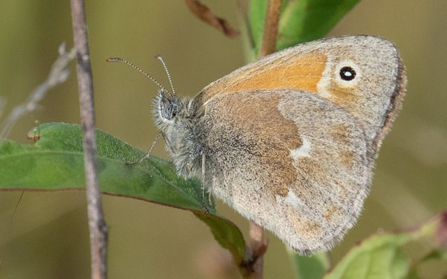 A butterfly sitting on a stem. The butterfly is gray, brown and white, with a small black spot dotted with a white eye.