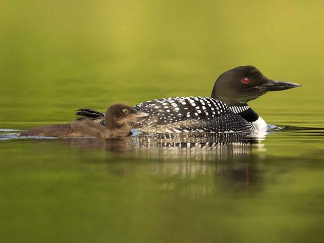 Common loon and chick in pond.